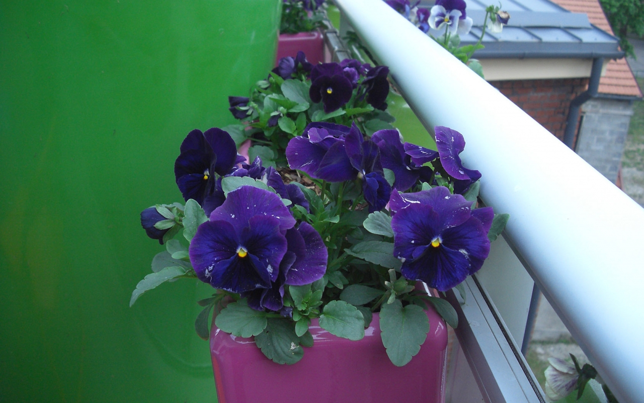 pansies in full bloom, LuxLoft vacation rental